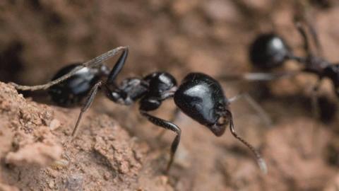 L amore delle grandi formiche nere poesia numero 40 for Debellare formiche